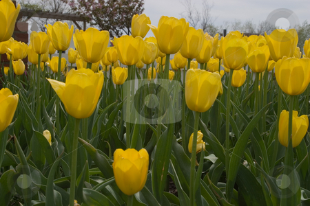 Tulip Festival stock photo, Holland, Michigan Tulip Festival by Ramses Racelis