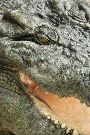 Crocodile close up. stock photo, Close up of crocodile with open mouth, Australia. by Iofoto Images