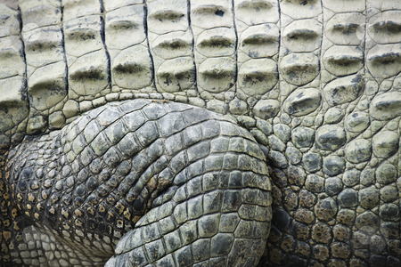 Crocodile skin. stock photo, Close up of side of crocodile showing scaly skin, Australia. by Iofoto Images