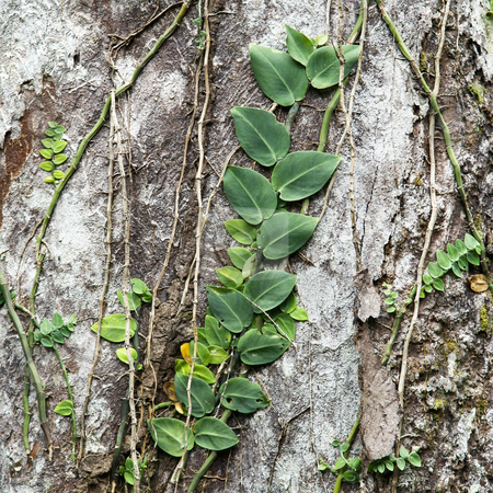 Vines climbing tree. stock photo, Plants and vines attached to tree ...