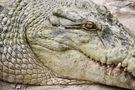 Crocodile head. stock photo, Close up of side view of crocodile in Australia. by Iofoto Images