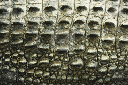 Crocodile texture. stock photo, Close up of side of crocodile showing scaly skin, Australia. by Iofoto Images