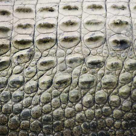 Crocodile scales. stock photo, Close up of side of crocodile showing scaly skin, Australia. by Iofoto Images