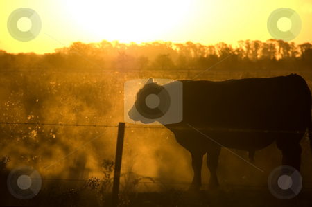 Sunset on the Farm stock photo, A bull navigates a dusty paddock at sunset by Lee Torrens
