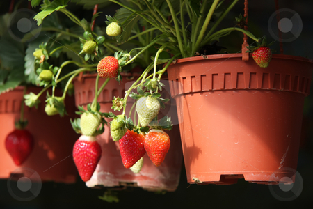 Strawberry plants stock photo, Strawberries growing on the plant freh produce by Kheng Guan Toh