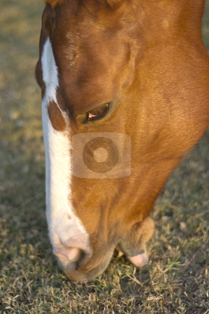 How Horses Eat stock photo, Close-up of a pretty horse eating grass in the light of dusk by Lee Torrens