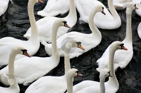 Group of Swans stock photo, Close up of a group of swans by Lee Torrens