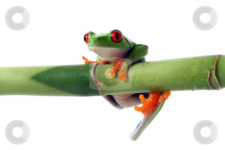 Hang In There stock photo, Red-Eyed Tree Frog hanging from bamboo.  Isolated on white background. by Megan Lorenz