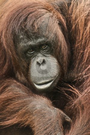 Orang-utan looking cool stock photo, Orang-utan portrait with hair blowing in a wild manner by Stefan Edwards