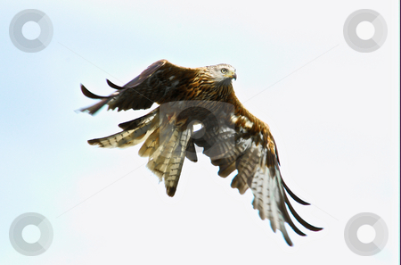 Red Kite in flight stock photo, A Red Kite with plain sky behind, moving from left to right by Stefan Edwards