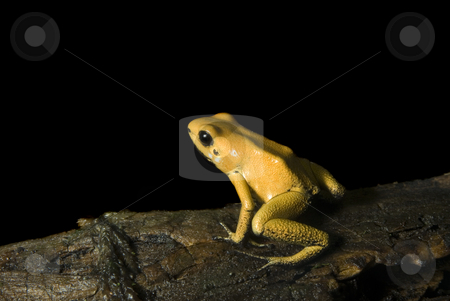 Yellow Dart Frog stock photo, Terrible Dart Frog (Phyllobates terribilis) sitting on a log, isolated on black. by A Cotton Photo