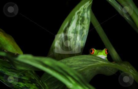 Red Eyed Tree Frog in plants stock photo, Red Eyed Tree Frog (Agalychnis callidryas) trying to hide among leaves. by A Cotton Photo