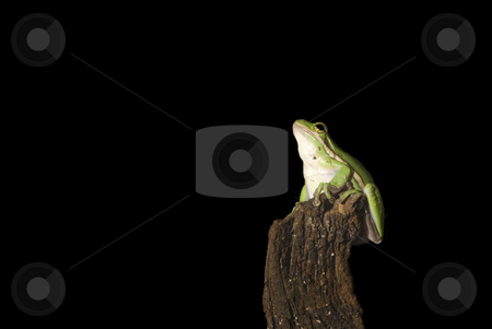 Green Tree Frog Dreaming stock photo, Green tree frog (Hyla cinerea) dreaming of a grand leap.  Isolated on a black background. by A Cotton Photo