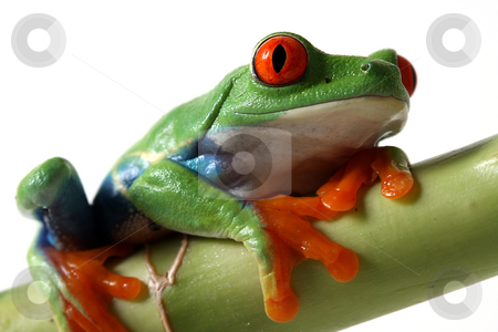 Red-Eyed Beauty stock photo, Closeup of a Colorful Red-Eyed Tree Frog staring at the camera. by Megan Lorenz