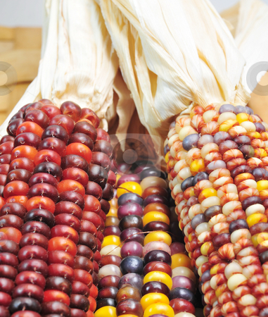 Autumn Indian Corn stock photo, Ears Of Indian Corn In Fall Colors by Lynn Bendickson