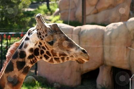 Baringo Giraffe stock photo, The Rothschild Giraffe also known as the Baringo Giraffe or as the Ugandan Giraffe is one of the most endangered giraffe subspecies. by Henrik Lehnerer