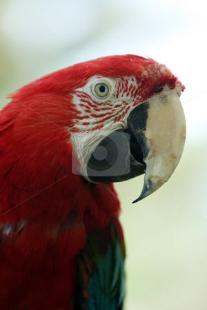 Scarlet Macaw stock photo, Closeup of a colorful Parrot against blurred background. by Megan Lorenz