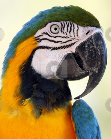 Colorful Macaw stock photo, Closeup of a colorful Parrot against blurred background. by Megan Lorenz