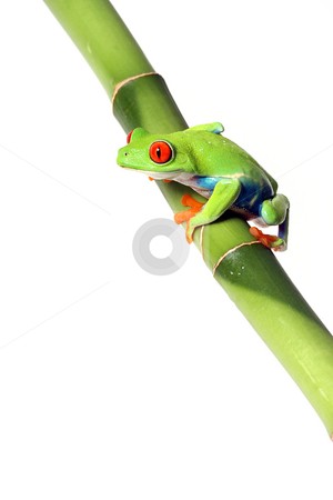 Red-Eyed Tree Frog stock photo, Tree Frog perching on Bamboo and isolated on white background with copyspace. by Megan Lorenz
