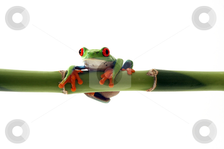 Hanging Around stock photo, Red-Eyed Tree Frog hanging from Bamboo and isolated on white. by Megan Lorenz
