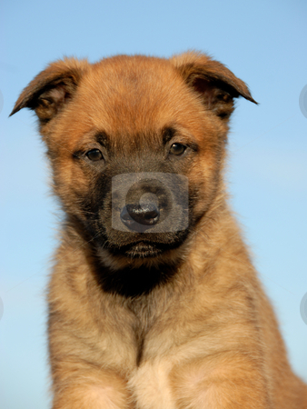Puppy belgian shepherd stock photo, Portrait of a young puppy purebred belgian shepherd malinois by Bonzami Emmanuelle