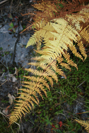 Ferns in Fall Foliage stock photo, Ferns in their golden Autumn foliage by Tom and Beth Pulsipher