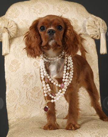 Dog stock photo, Stock photo of a King Charles Cavalier puppy wearing strings of pearls by Maria Bell