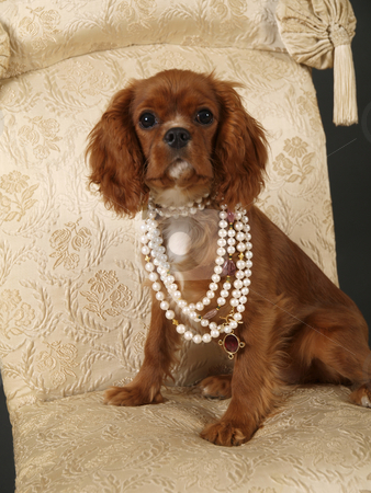 Coco 3 stock photo, Stock photo of a King Charles Cavalier puppy wearing strings of pearls by Maria Bell