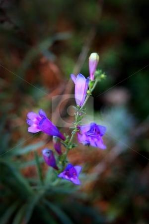 Blue Bells stock photo, Tiny flower that looks like little blue bells. by Henrik Lehnerer