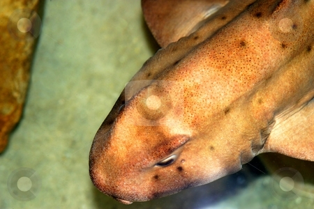Horn Shark stock photo, A close-up image of a shark swimming in an aquarium by Henrik Lehnerer