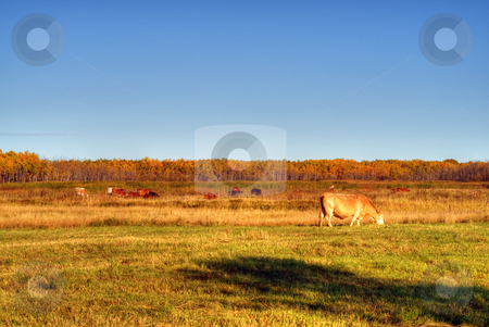 Pasture stock photo, A pasture with cows eating some grass by Richard Nelson