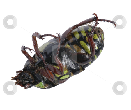 Carrion Beetle stock photo, A Carrion Beetle with green and brown spots by Stephen Gibson
