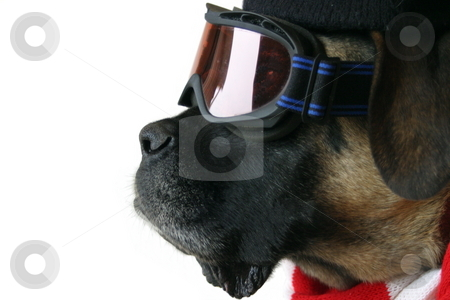 Ski Dog stock photo, An English Mastiff in ski goggles, snow hat, and a red and white scarf. by Great Divide Photography