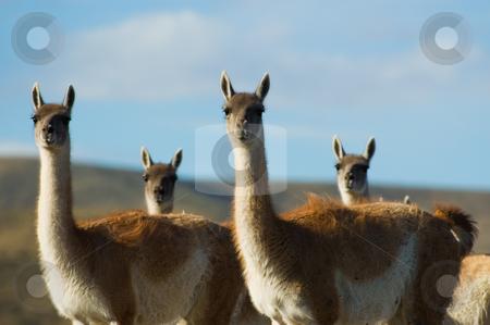 Guanacoes (Lama guanicoe) in Patagonia, southern Argentina. stock photo, Guanacoes (Lama guanicoe) in Patagonia, southern Argentina. by Pablo Caridad