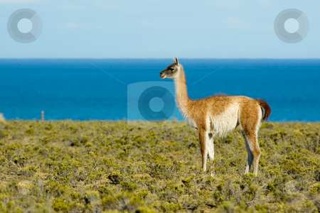 Guanaco in Patagonia, Argentina. stock photo, Guanaco in Patagonia, Argentina. by Pablo Caridad