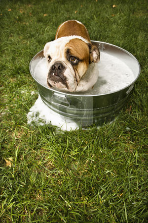 Bulldog in bath. stock photo, English Bulldog looking out from tub of bath water in yard. by Iofoto Images