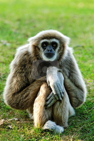 Gibbon  stock photo, Whitehandgibbon (Hylobates lar) sitting and looking right in lens by Wino Evertz