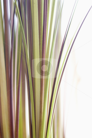 Decorative grass. stock photo, Abstract shot of decorative grass. by Iofoto Images