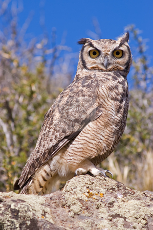 Great Horned Owl stock photo, Great Horned Owl  (Bubo virginianus) in the Patagonian steppe, Southern Argentina. by Pablo Caridad