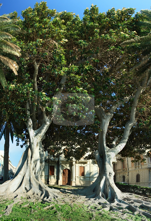 Two huge ficus macrophylla stock photo, Ficus macrophylla, commonly known as the Moreton Bay Fig, is a large evergreen banyan tree of the Moraceae family that is best known for its beautiful buttress roots, which are also known for damaging municipal sidewalks. by Natalia Macheda
