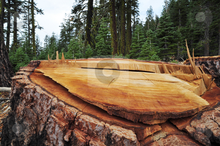 Logging Aftermath stock photo, Remaing tree stump left after forest logging. by Lynn Bendickson