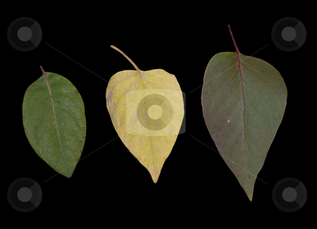 Three Leaves stock photo, Three leaves lined up in a row, isolated on black by Richard Nelson