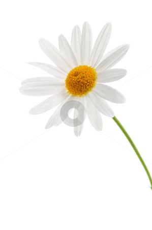 Daisy on white background stock photo, Daisy flower isolated on white background by Elena Elisseeva