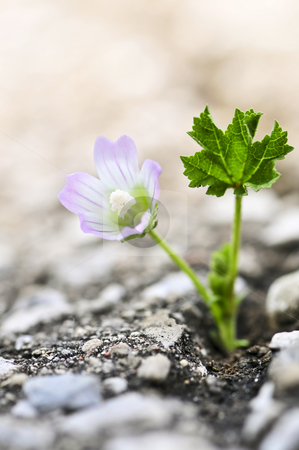Flower growing from crack in asphalt stock photo, Green grass growing from crack in old asphalt pavement by Elena Elisseeva