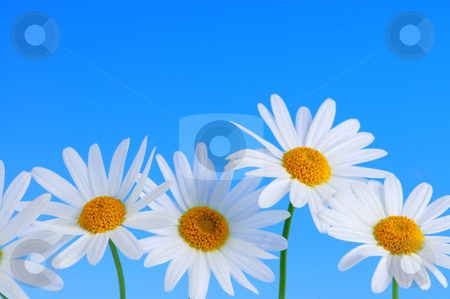 Daisy flowers on blue background stock photo, Daisy flowers in a row on light blue background by Elena Elisseeva