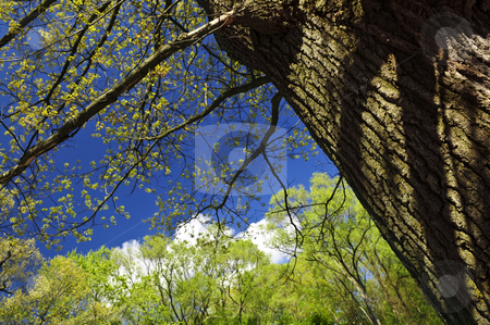 Spring tree stock photo, Spring tree with young foliage and blue sky by Elena Elisseeva