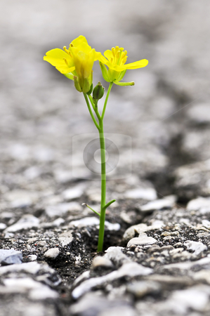 Flower growing from crack in asphalt stock photo, Green grass growing from crack in old asphalt pavement by Elena Elisseeva