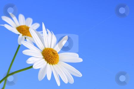 Daisy flowers on blue background stock photo, Daisy flowers macro on light blue background by Elena Elisseeva