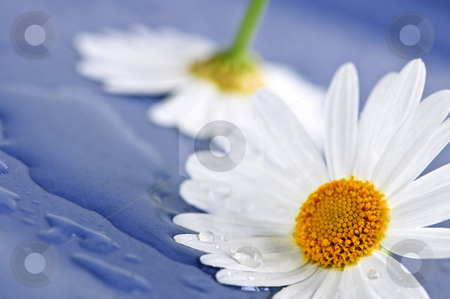 Daisy flowers with water drops stock photo, White daisy flowers close up with water drops by Elena Elisseeva