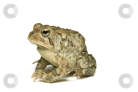 Southern Toad Profile stock photo, Southern Toad (Bufo terrestris) Isolated on a white background by A Cotton Photo